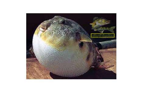 أنواع سمك البحر الأحمر _ سمك الدرمة