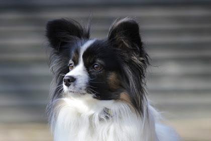 افضل كلاب في العالم في سهولة التدريب