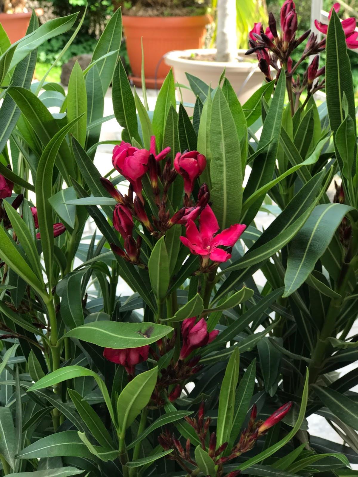 achimsgarten der selbstversorger und garten blog winterharte kakteen ein bl hender oleander. Black Bedroom Furniture Sets. Home Design Ideas