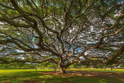 Megah dan Berharganya Pohon Hitachi Di Kebun Moanalua