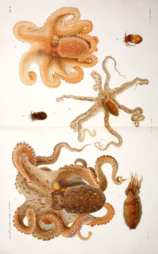 monograph illustration of cephalopod