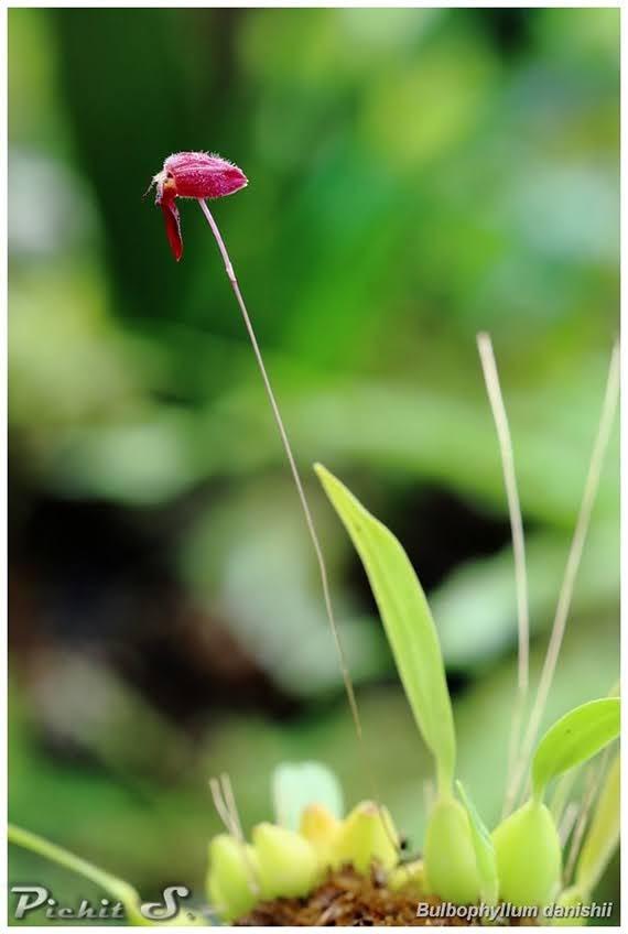 Bulbophyllum danishii