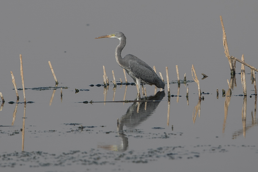 Indian Reef Heron – Jubail