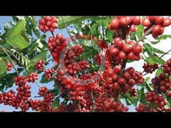 طول شجرة القهوة