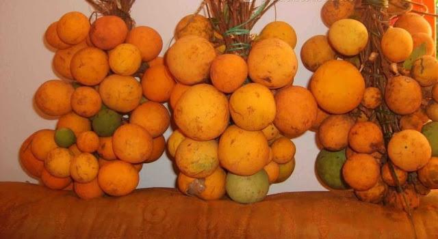 Toll, un fruit sauvage Sénégalais : Toll, fruit, madd, sauvage, savane, nature, Casamance, commerce, exportation, marché, confiture, jus, vitamine, LEUKSENEGAL, Dakar, Sénégal, Afrique
