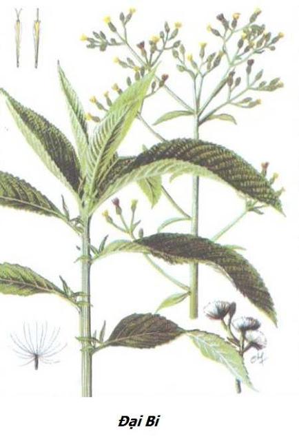 Hình ảnh Đại Bi (Long não hương) - Blumea balsamifera - Nguyên liệu làm thuốc Chữa Cảm Sốt