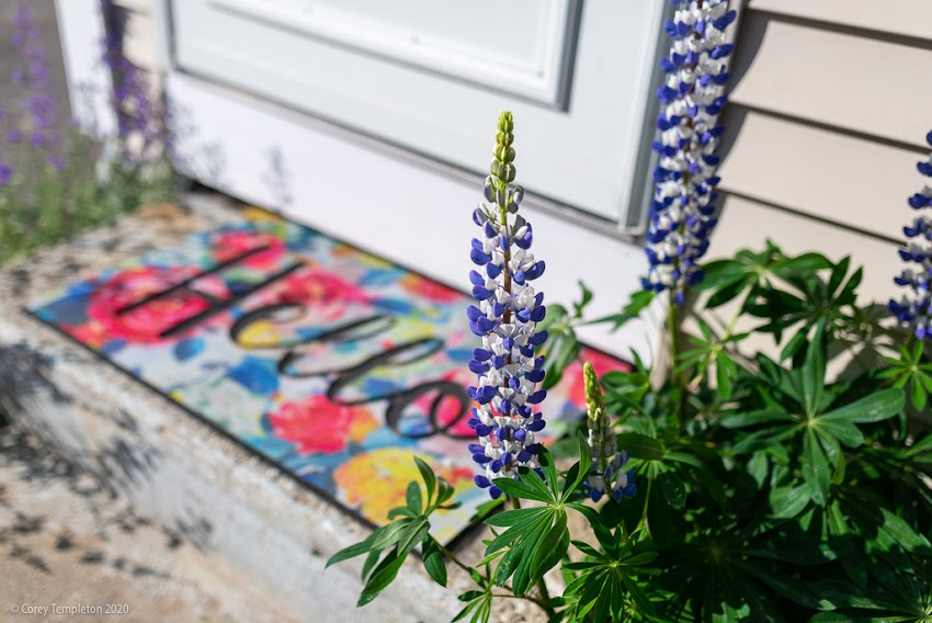 "Portland, Maine USA June 2020 photo by Corey Templeton. Saying ""Hello"" to the lupines on Tyng Street."