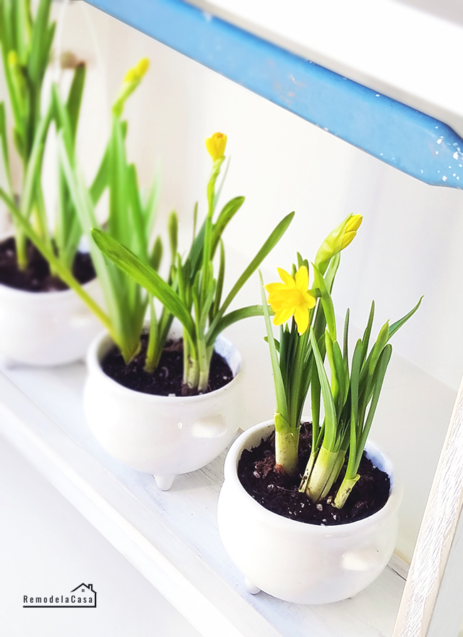 rustic tray holding daffodils planted in three legged soup bowls
