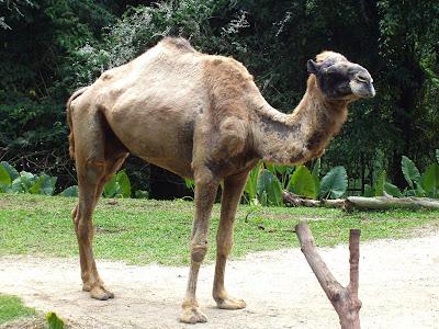 deve-eti-yenir-mi