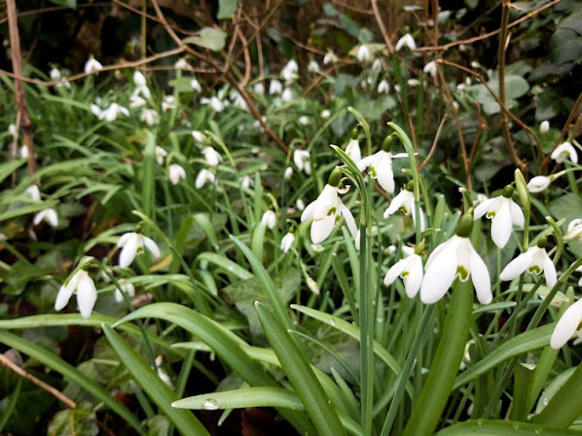 Image shows snowdrops in the foreground and receding into the distance