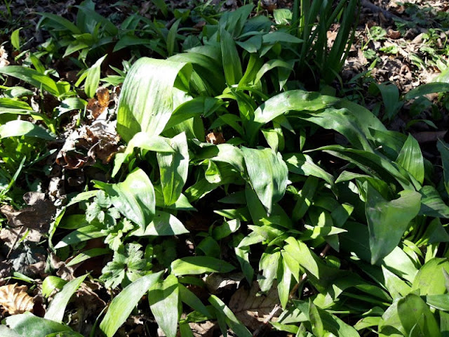Image shows broad green leaves of wild garlic
