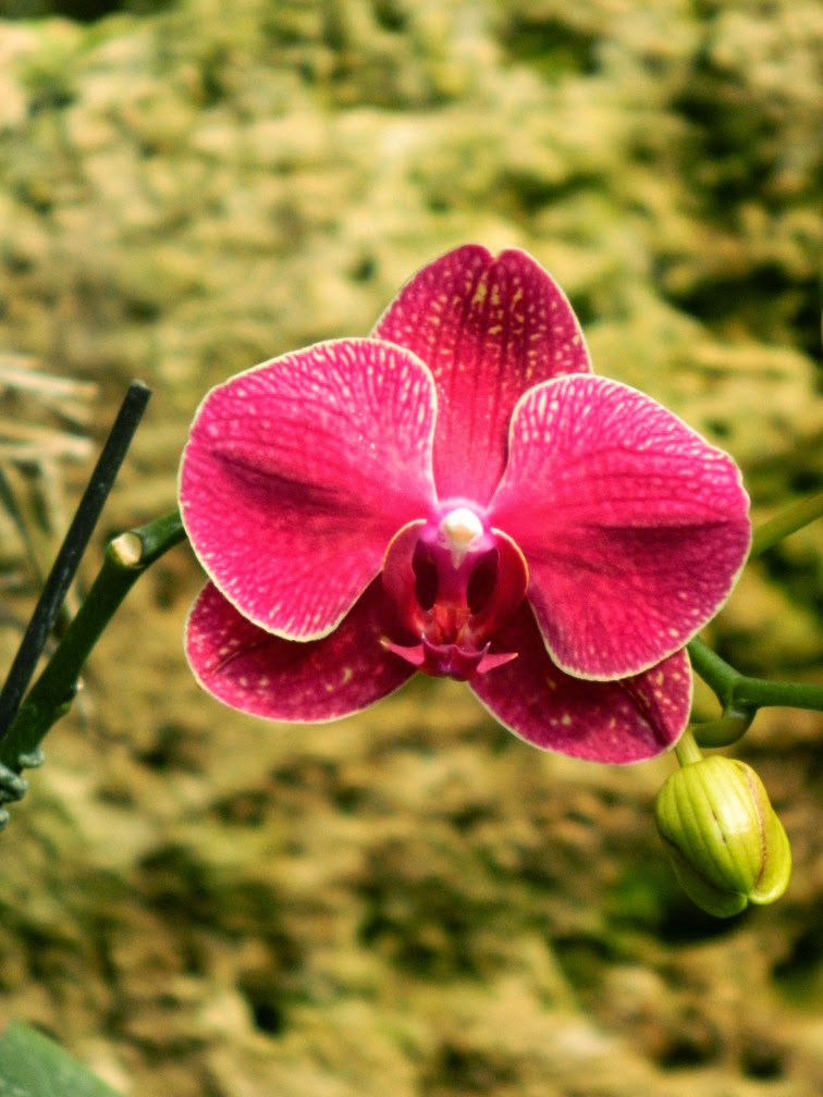 Light red Phalaenopsis Moth Orchid Centennial Park Conservatory by garden muses-not another Toronto gardening blog