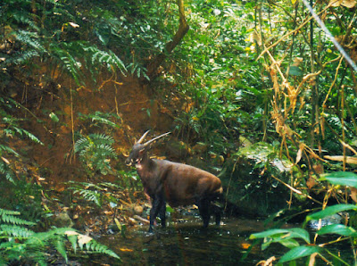 Rare and Endangered Asian Unicorn (aka Saola)