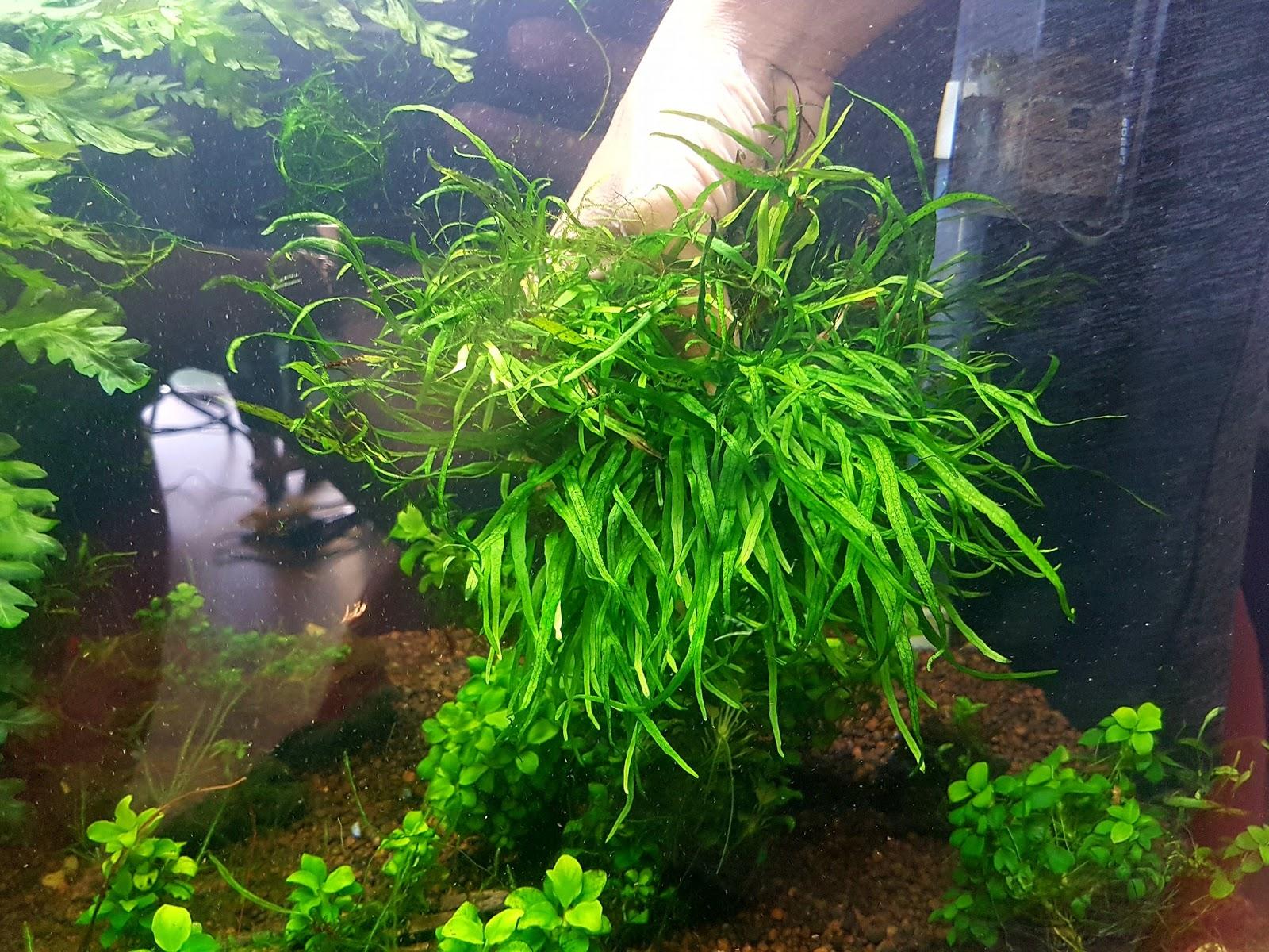 Phụ kiện thủy sinh - cây dương xỉ lá kim mini