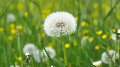 dandelion, bloating