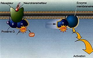 recettori associati a proteine G