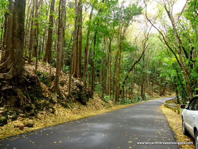 Mahogany Trees in Man-made forest Bohol