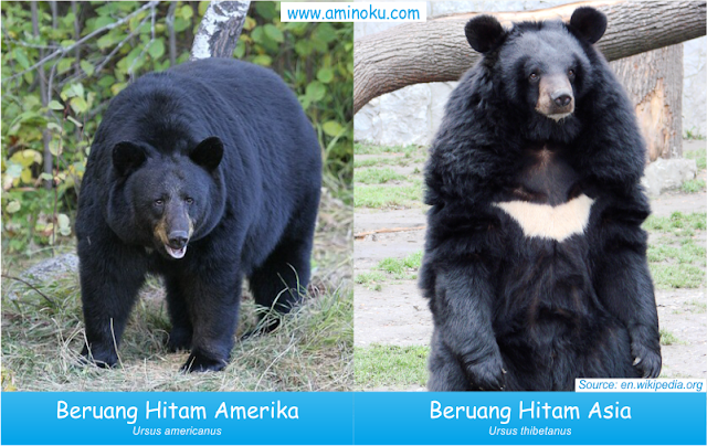 Perbedaan beruang hitam amerika dan beruang hitam asia
