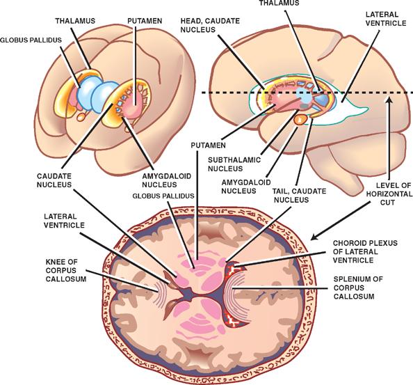 myneurologytips: Basal Ganglia Anatomy