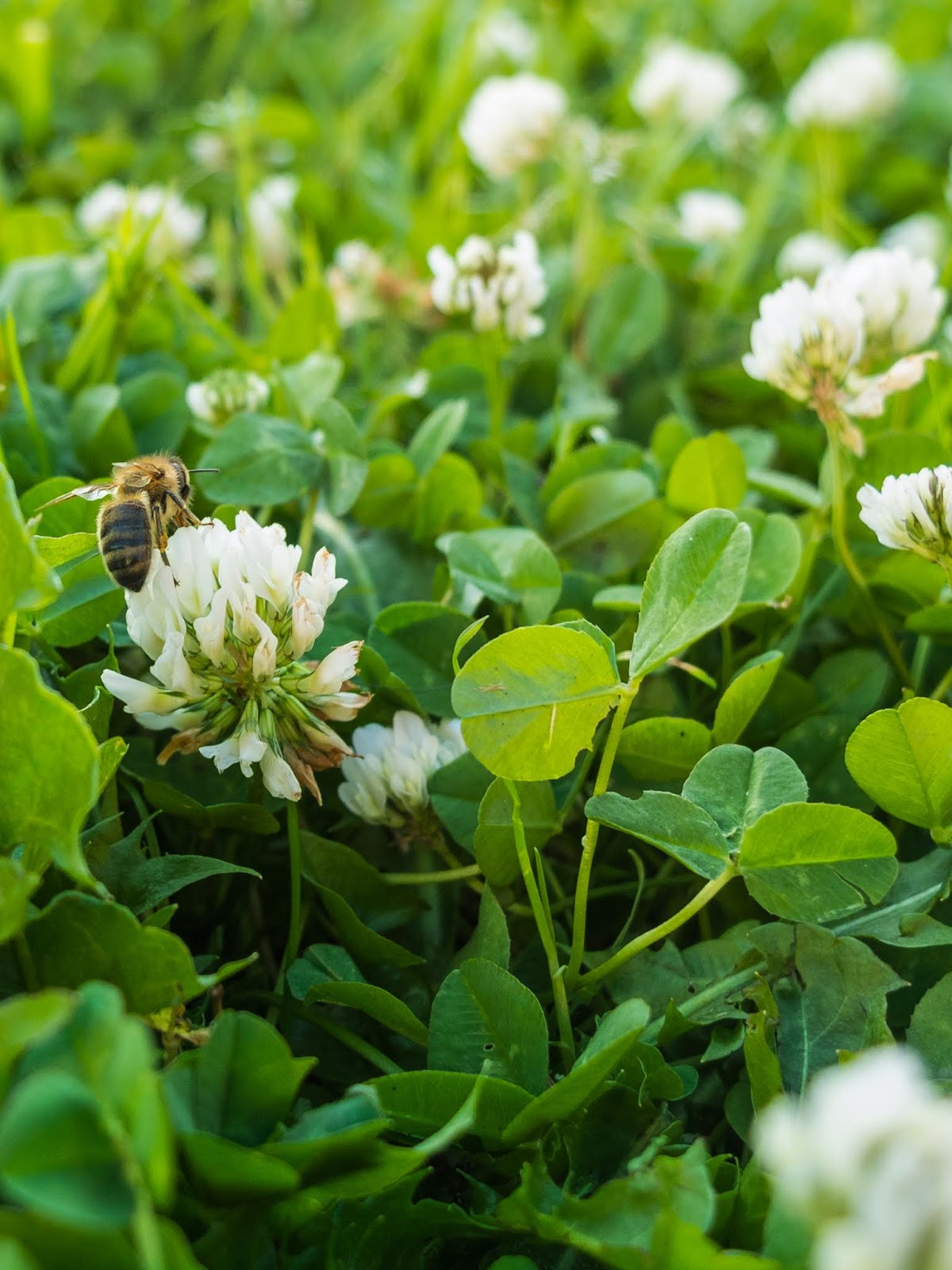 A honey bee collecting pollen from white clover in the lawn.