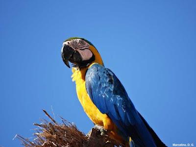 Arara-canindé, Ara ararauna, Arara-de-barriga-amarela, Blue-and-yellow Macaw, Macaw, aves, arara, aves do Brasil, animal, fotos de arara, fotos arara-canindé, fotos arara de barriga amarela, Tocantins