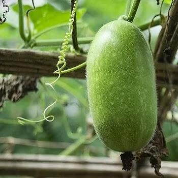Kohla, Petha, ash gourd vegetables name in Marathi