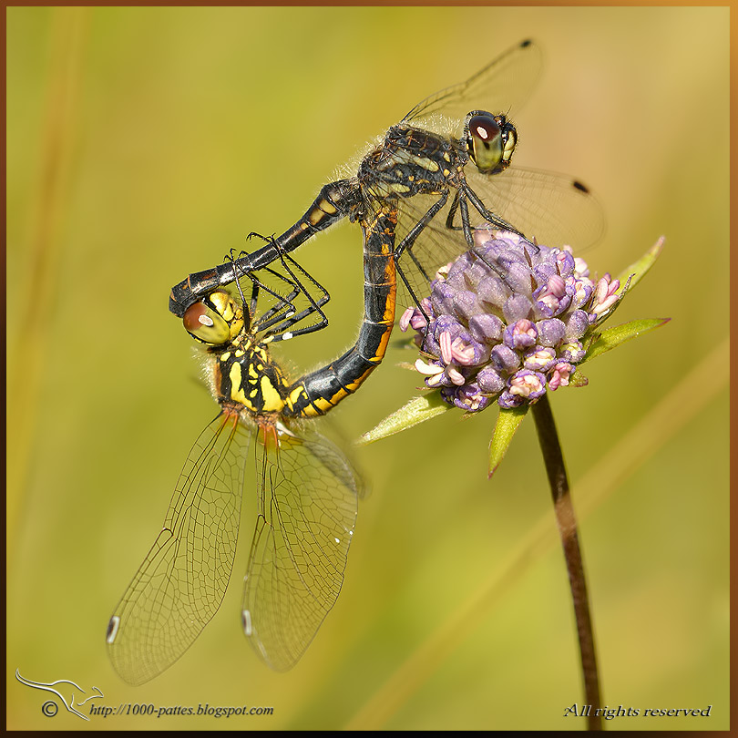 Black Darter VS Selysiothemis nigra