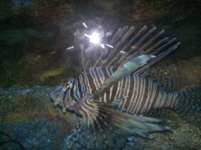 Ocean Adventure Lion Fish