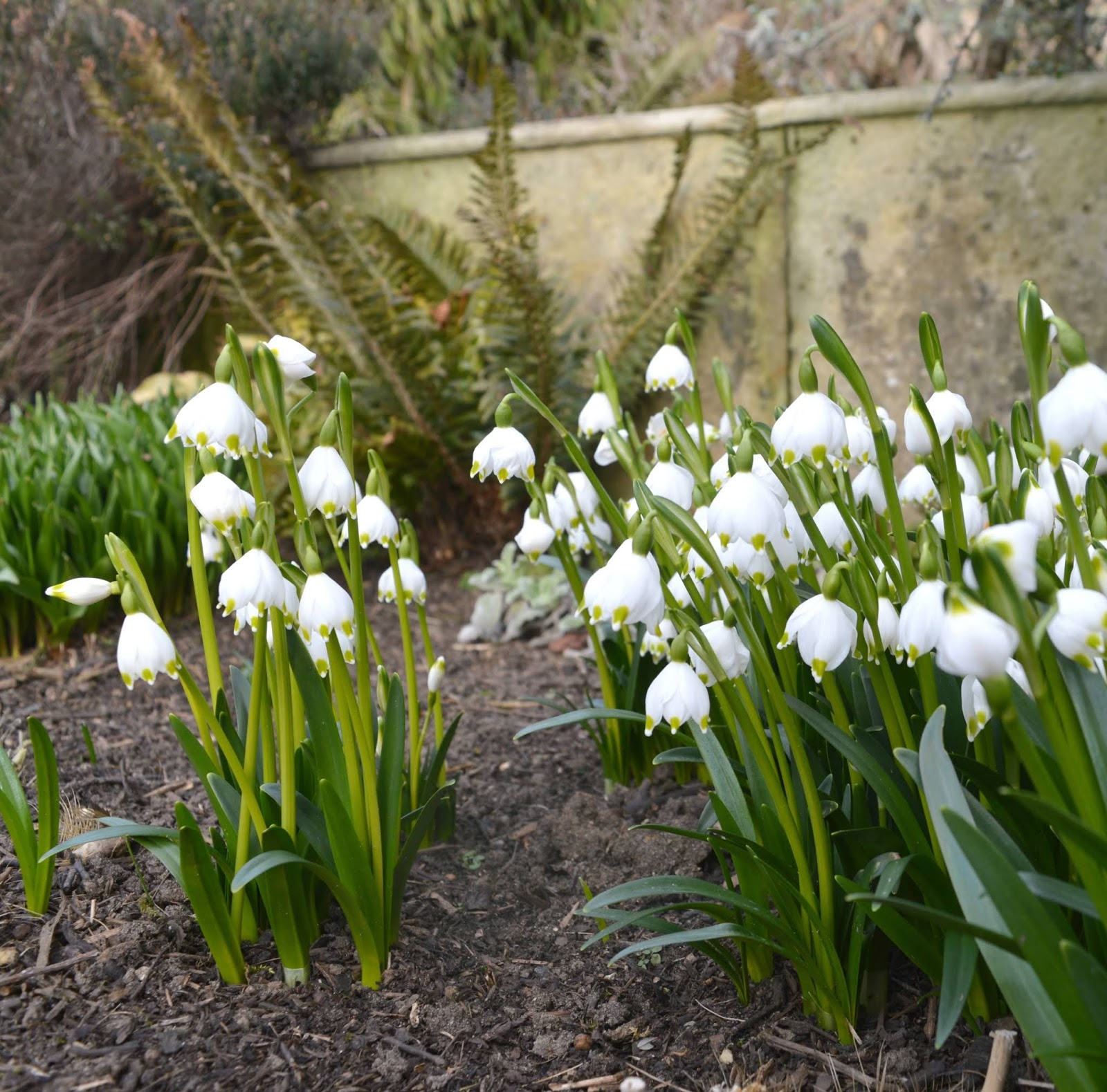 Belsay Hall, Castle and Gardens - Snowdrops