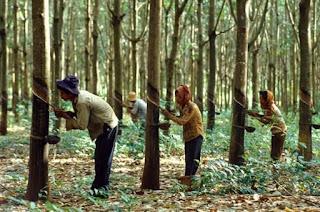 করোনার ঝুঁকিতে মাধবপুর রাবার বাগানের শ্রমিকরা