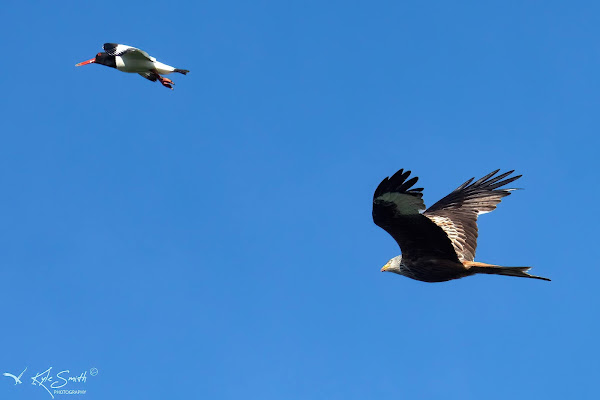 Oystercatcher and red kite