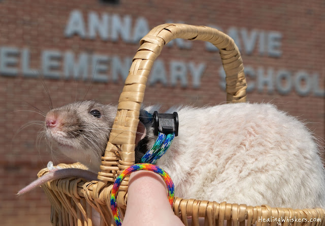 Vincent the Therapy Rat at Anna K. Davie Elementary School