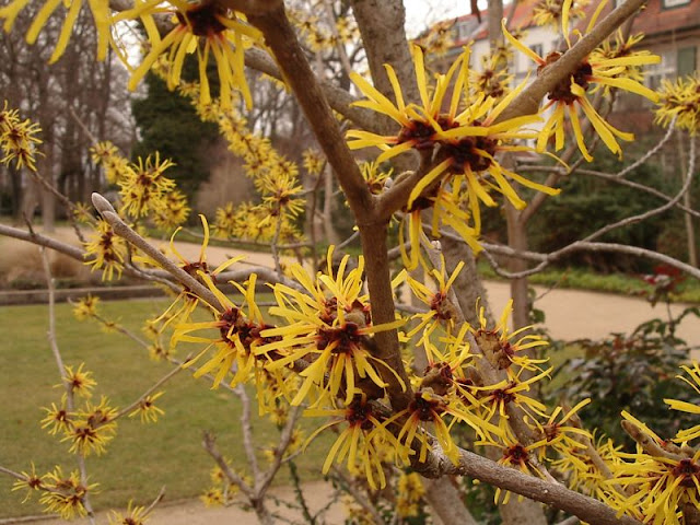 yellow blooms on witch hazel