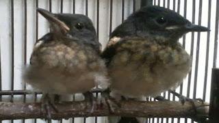 merawat burung kacer anakan
