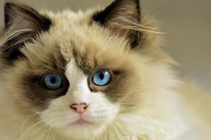 Cara Memelihara dan Merawat Kucing Persia