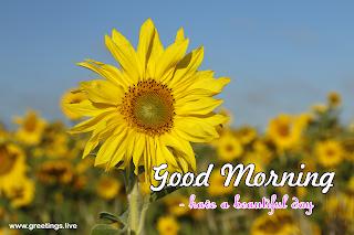 yellow sunflowers Morning wishes