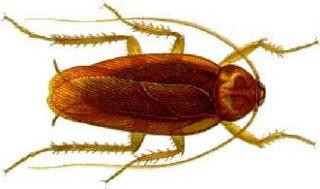 Foto de una cucaracha gringa