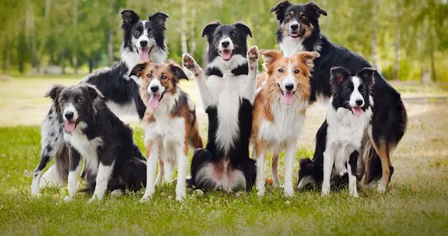 Giống chó thông minh nhất thế giới Border Collie