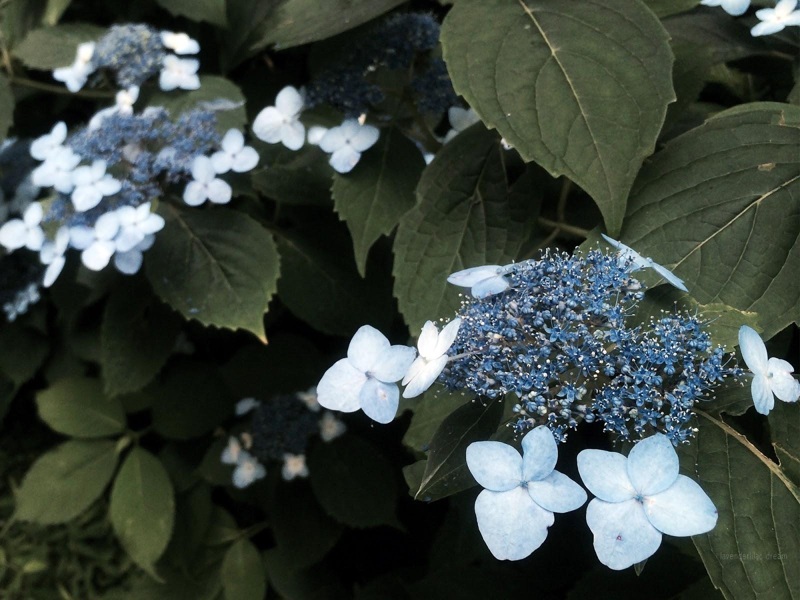 South Korea, Jeju Island, Yonsei University, YISS 2014, Saryeoni Forest blooming hydrangeas