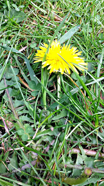 dandelion, ready to be harvested for dandelion pesto and dandelion syrup