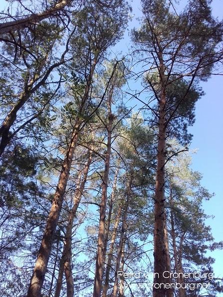 hohe Waldkiefern