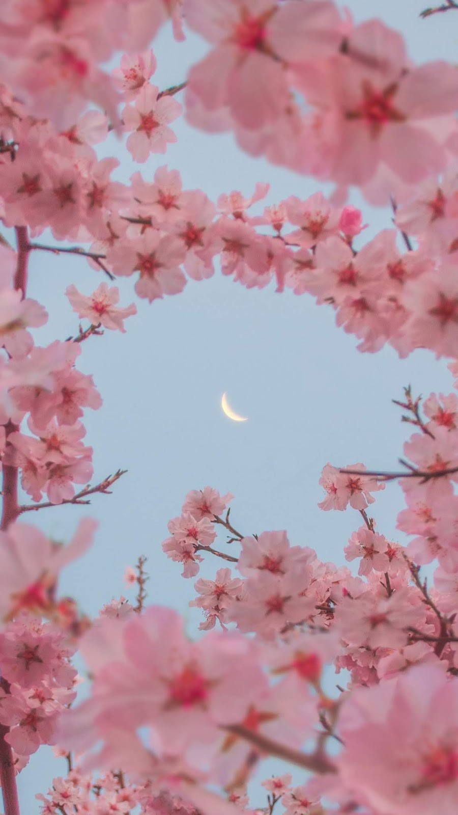 Hoa anh đào giữa bầu trời