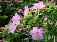 fioletowe kwiaty dziwaczka