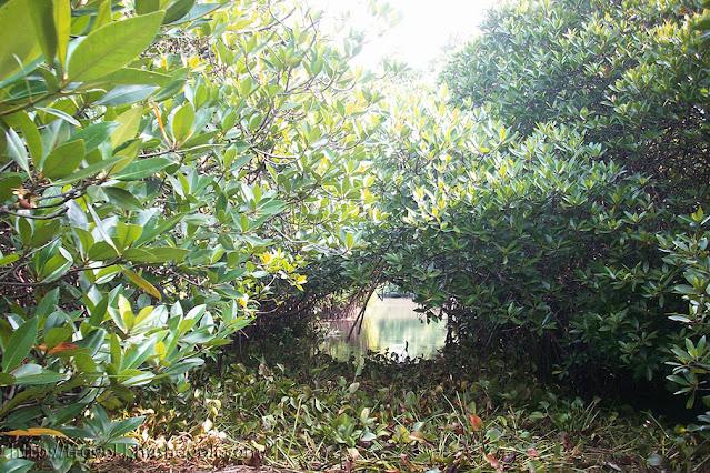 Pichavaram Mangrove