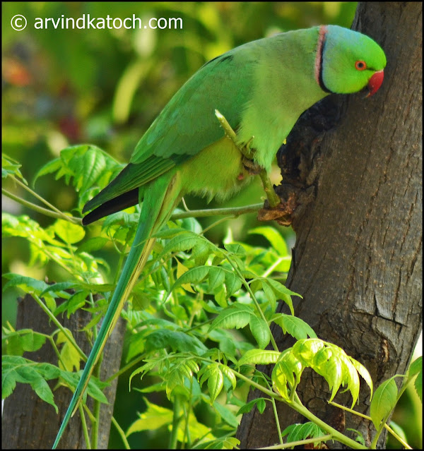 Rose, Rose-ringed, parakeet