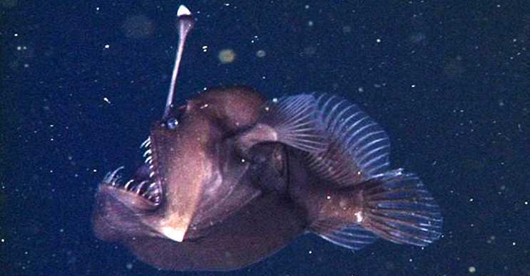 Siyah Deniz Şeytanı son derece korkutucu görünür ve göründüğü kadar da tehlikelidir.