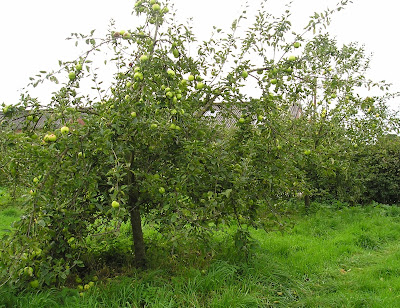 Apple trees at Brimstage Hall orchard