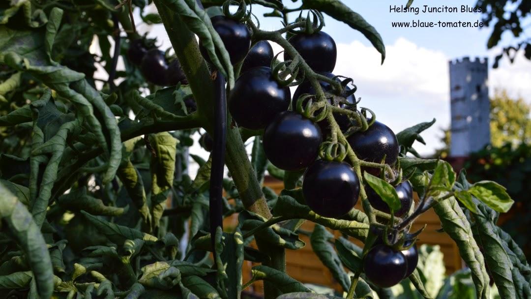 kleiner gem sek nig blaue tomaten fast ganz schwarz. Black Bedroom Furniture Sets. Home Design Ideas