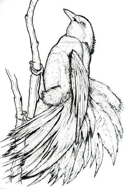 Sketsa gambar urung cendrawasih
