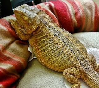 Fat bearded dragons